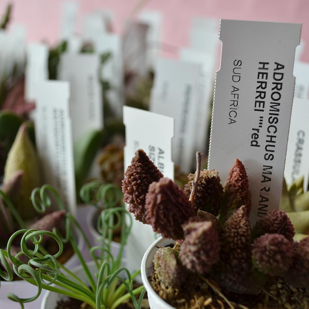 Collezione 30 piante succulente mix diam 5,5