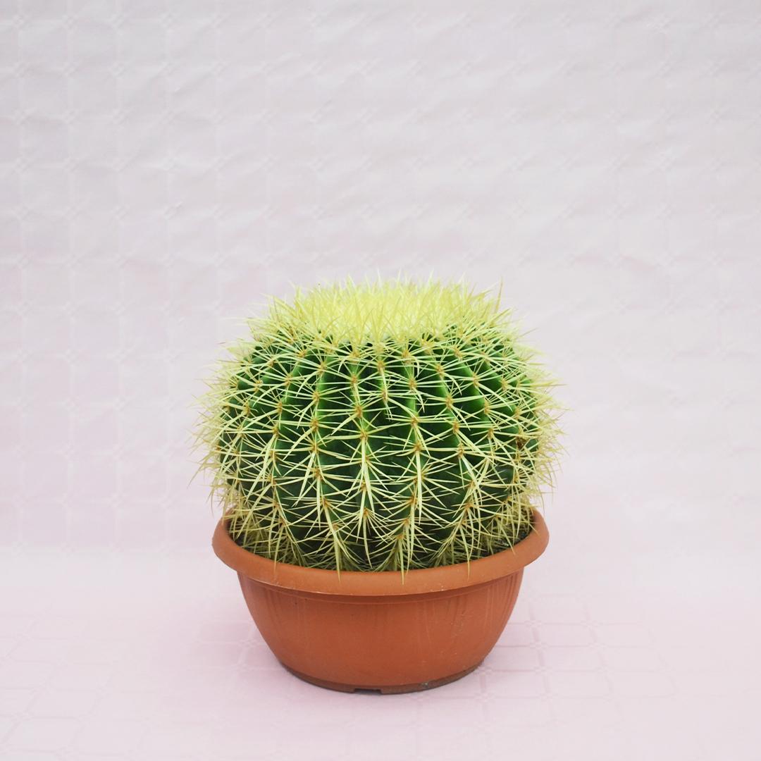 echinocactus grusonii vaso 25-1