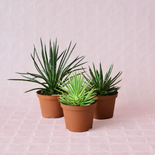 Collezione Agave 3 piante diam 10,5