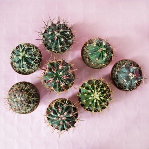 Collezione cactus 8 piante diam 10,5