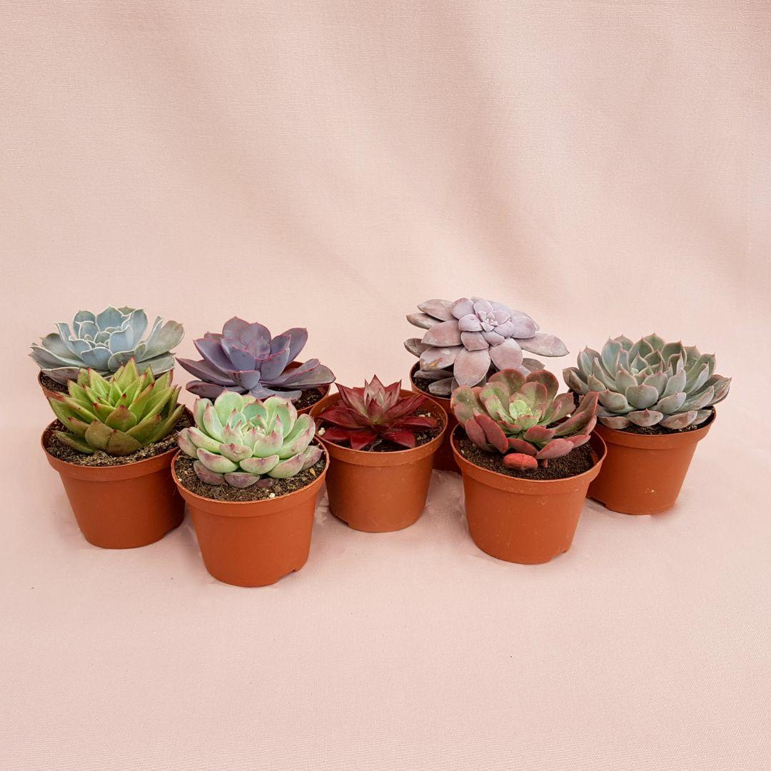 Collezione Echeveria 8 piante vaso 10,5