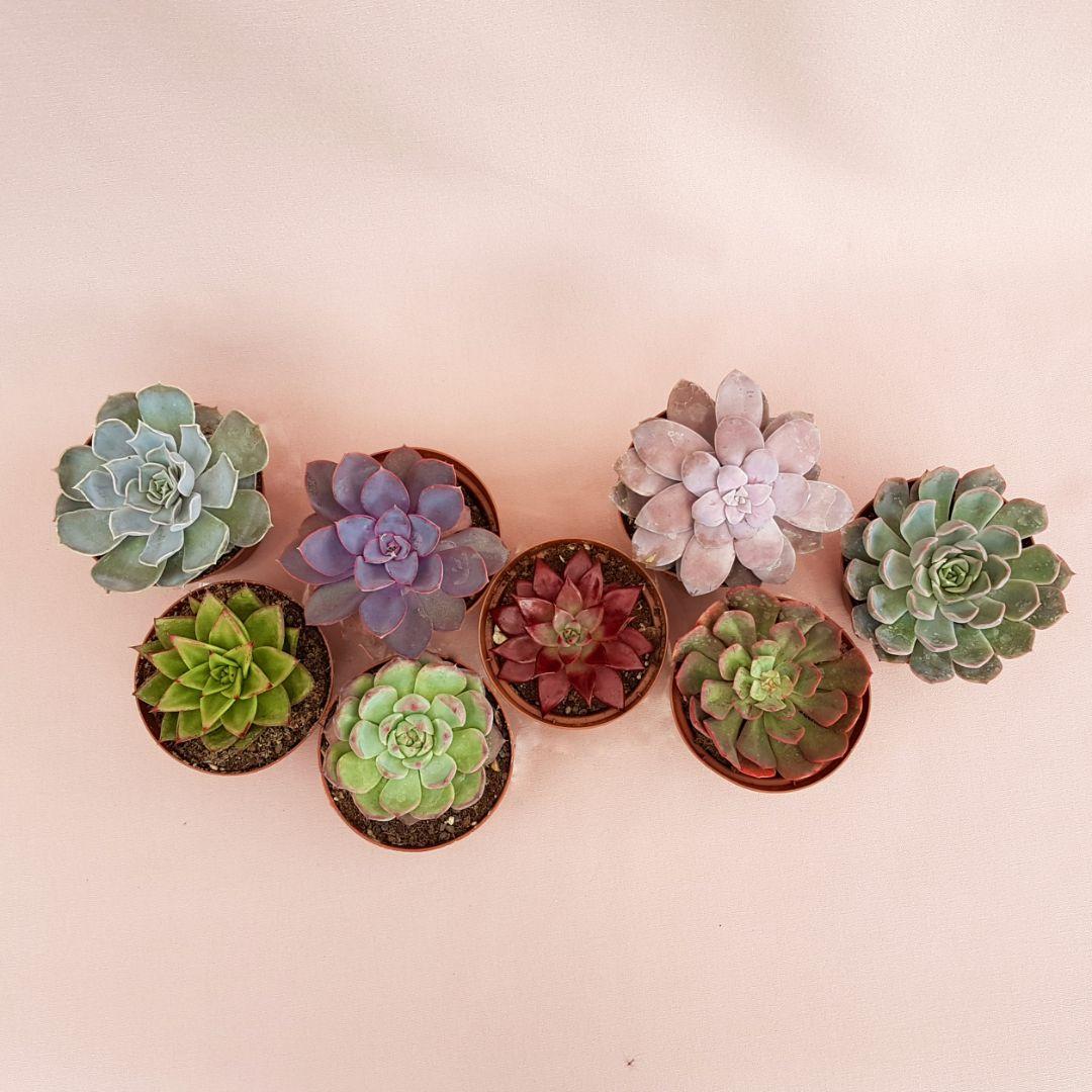 collezione echeveria 8 piante vaso 10,5-2