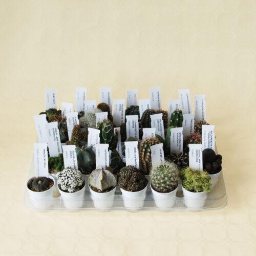 Collezione cactus 30 piante vaso Ø 5,5