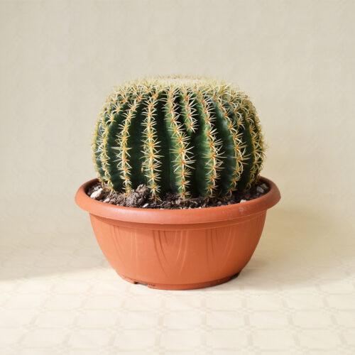 Echinocactus grusonii intermedius uncinatus vaso Ø 25