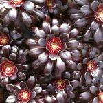 Aeonium arboreum nigra