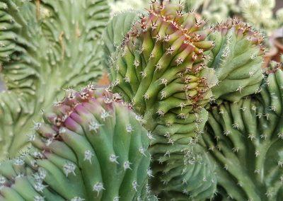 Lophocereus schotii crestato