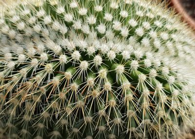 Mammillaria spinosissima crestata_2