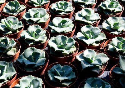 Agave potatorum v. Japan