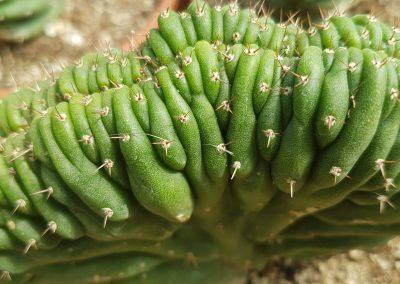 Trichocereus pachanoi crestata