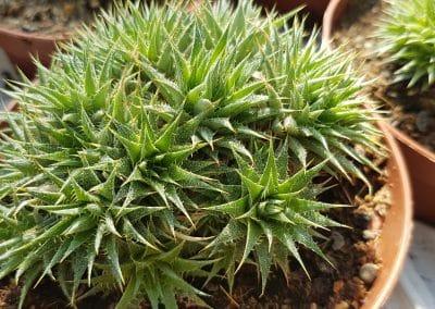 Abromeitiella clorantha