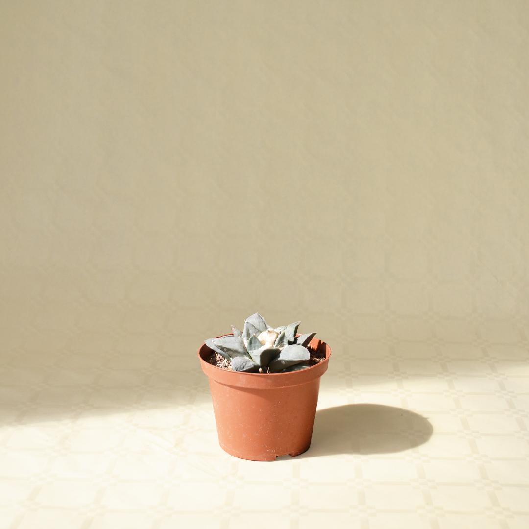 Ariocarpus retusus vaso Ø 10,5