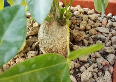 Bombacopsis cubensis