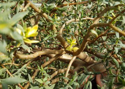 Crassula sarcocaulis variegata