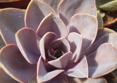 Echeveria perle von nurberg