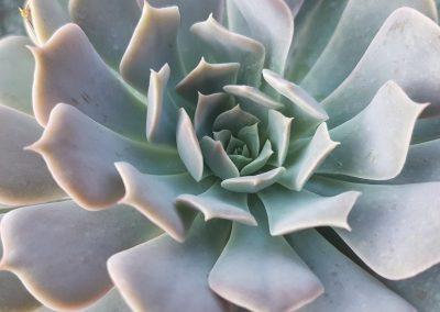 Echeveria runyonii pinwheel