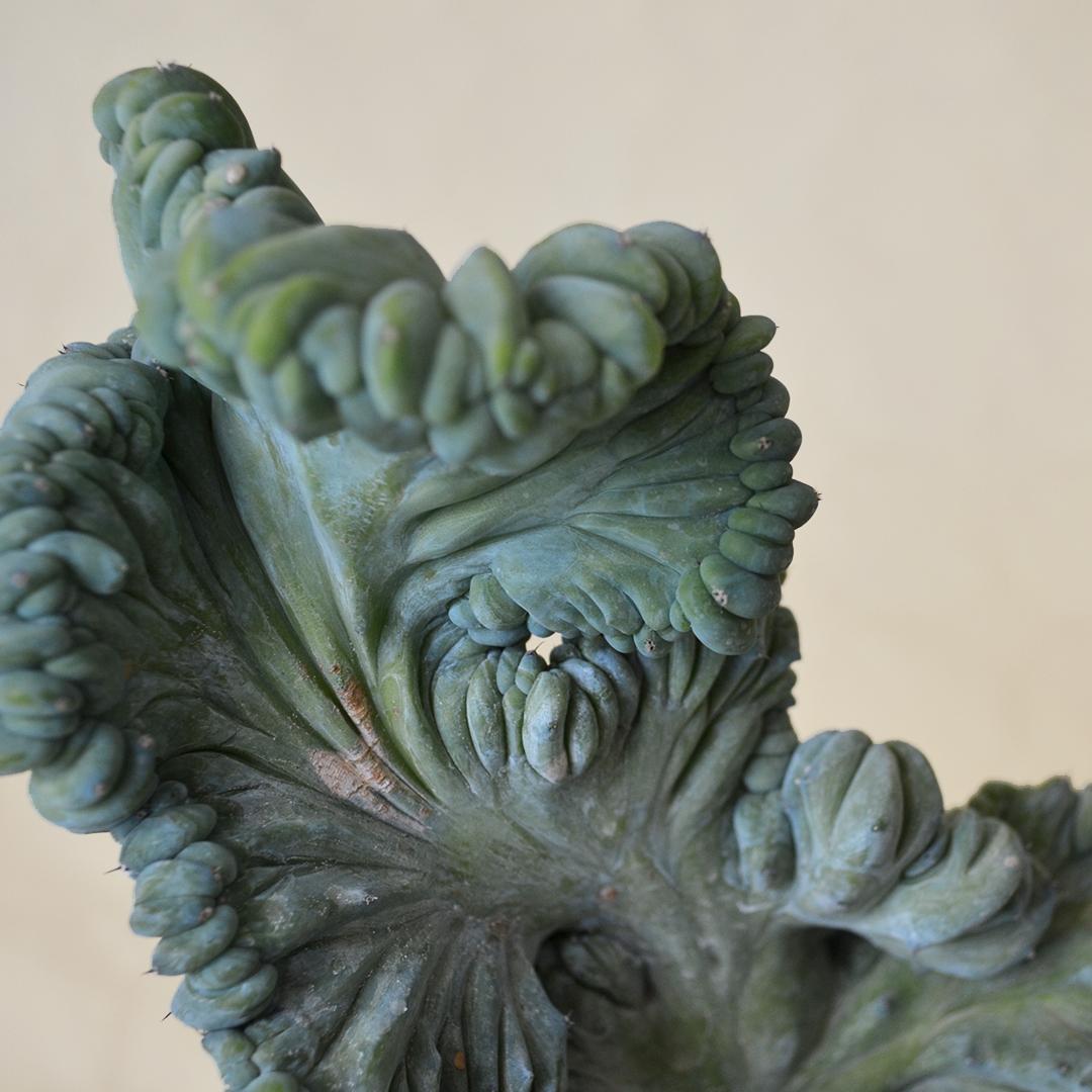 Myrtillocactus geometrizans crestato f minor vaso 12