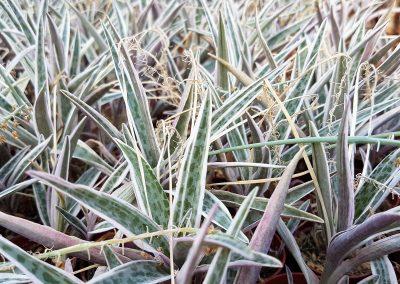 Scilla violacea variegata