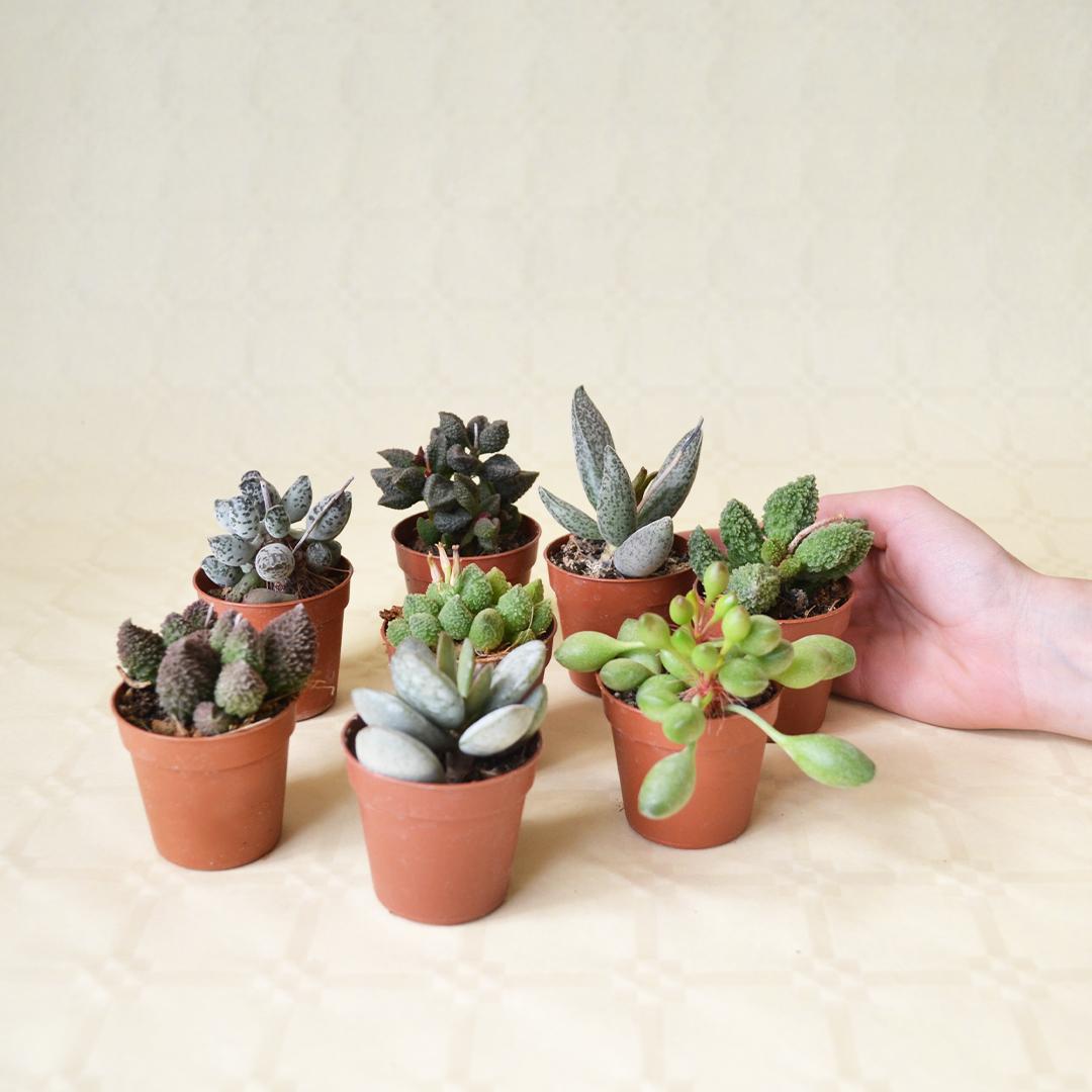 Collezione Adromischus 8 piante 5,5