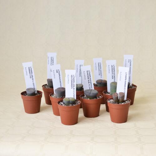 Collezione Lithops 10 piante diam 5,5