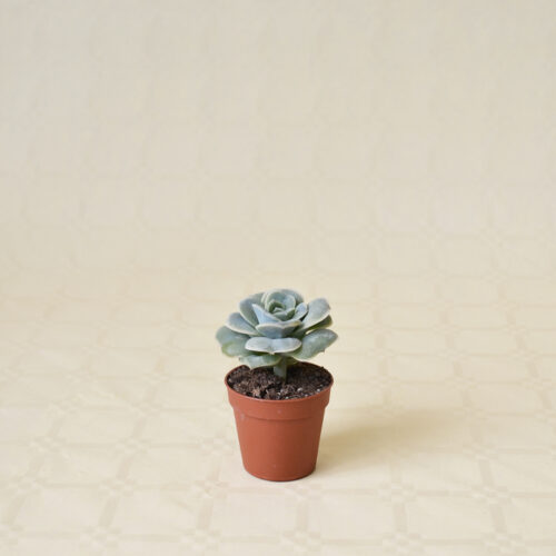 Echeveria Lovely Rose vaso 5,5