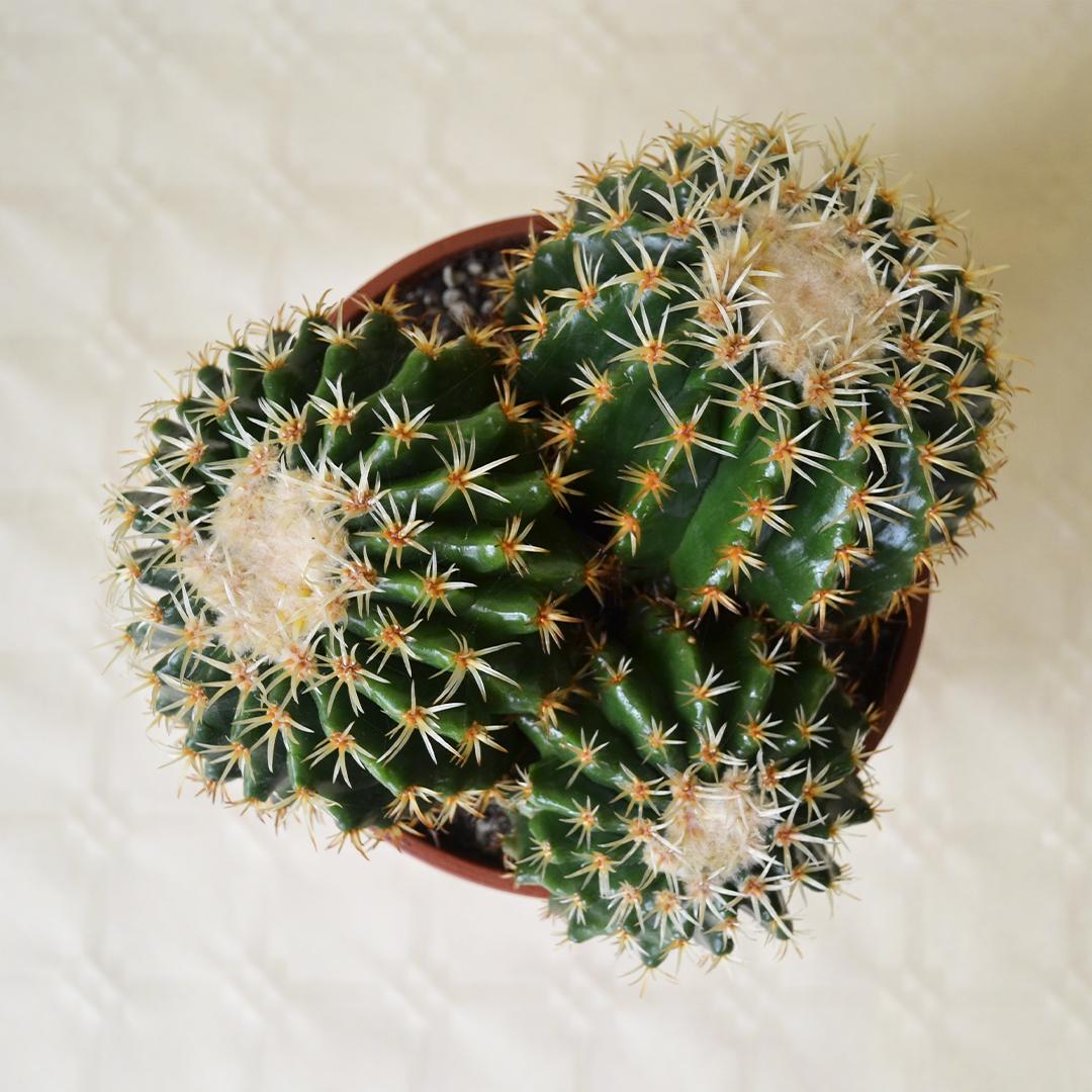 Echinocactus grusonii intermedius uncinatus vaso Ø 16