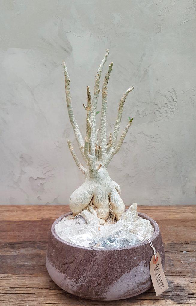 Adenium riposo vegetativo