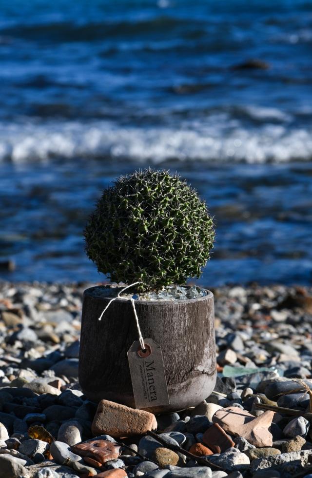 Euphorbia mitriformis Choco Manera web