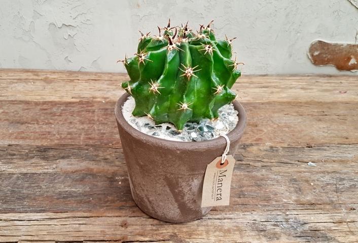 Ferocactus horridus brevispinus in Choco Manera