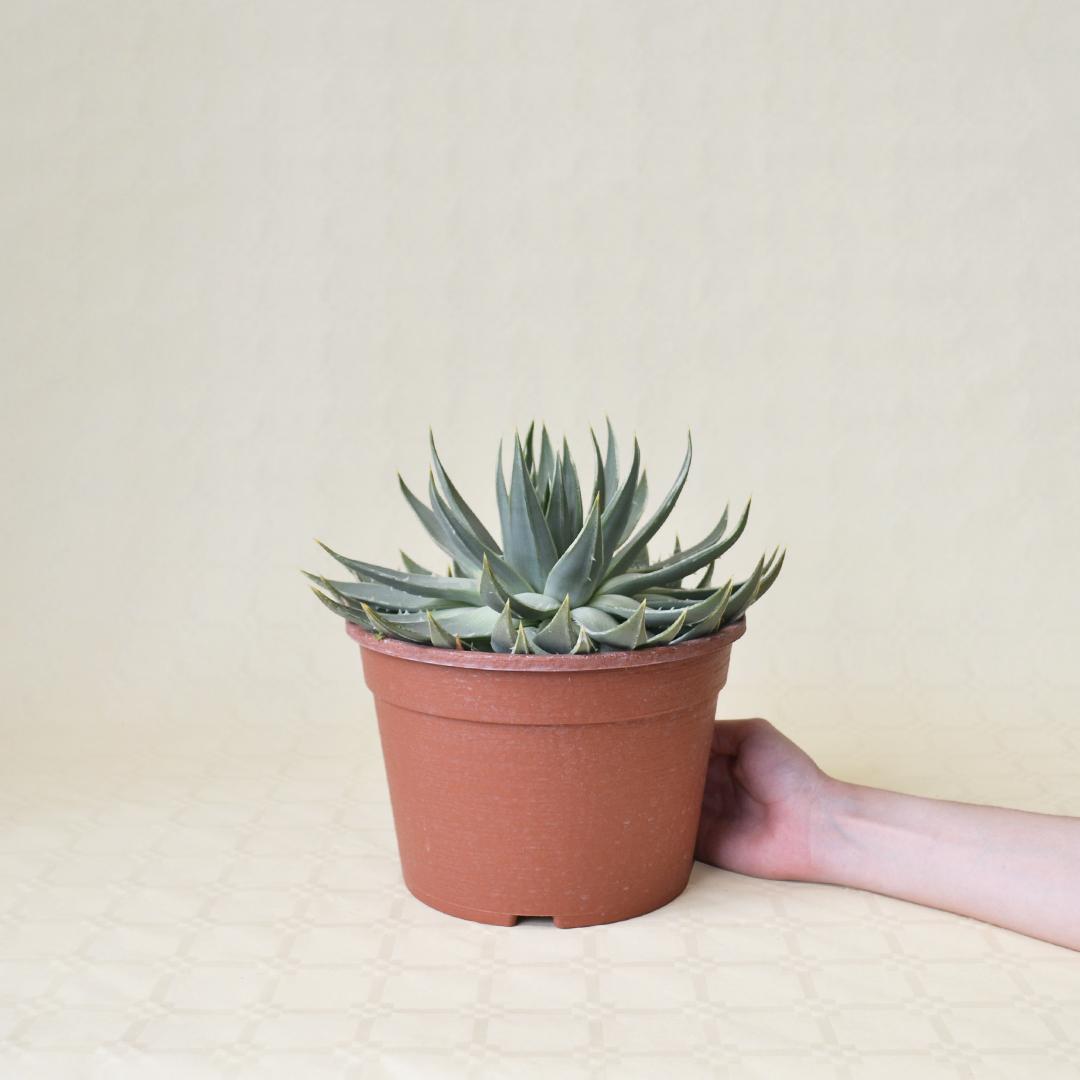 Aloe polyphylla vaso Ø 22