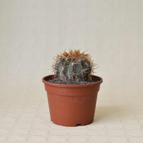 Denmoza rhodacantha vaso 16