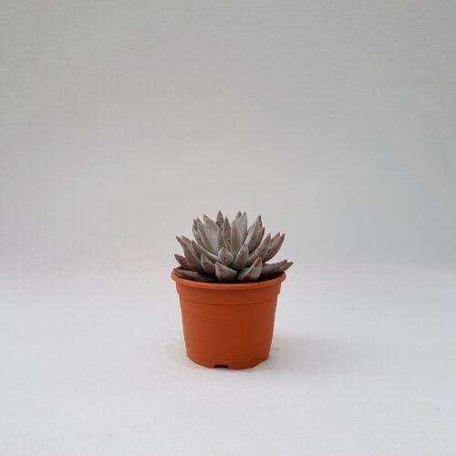 Echeveria tolimanensis vaso 17
