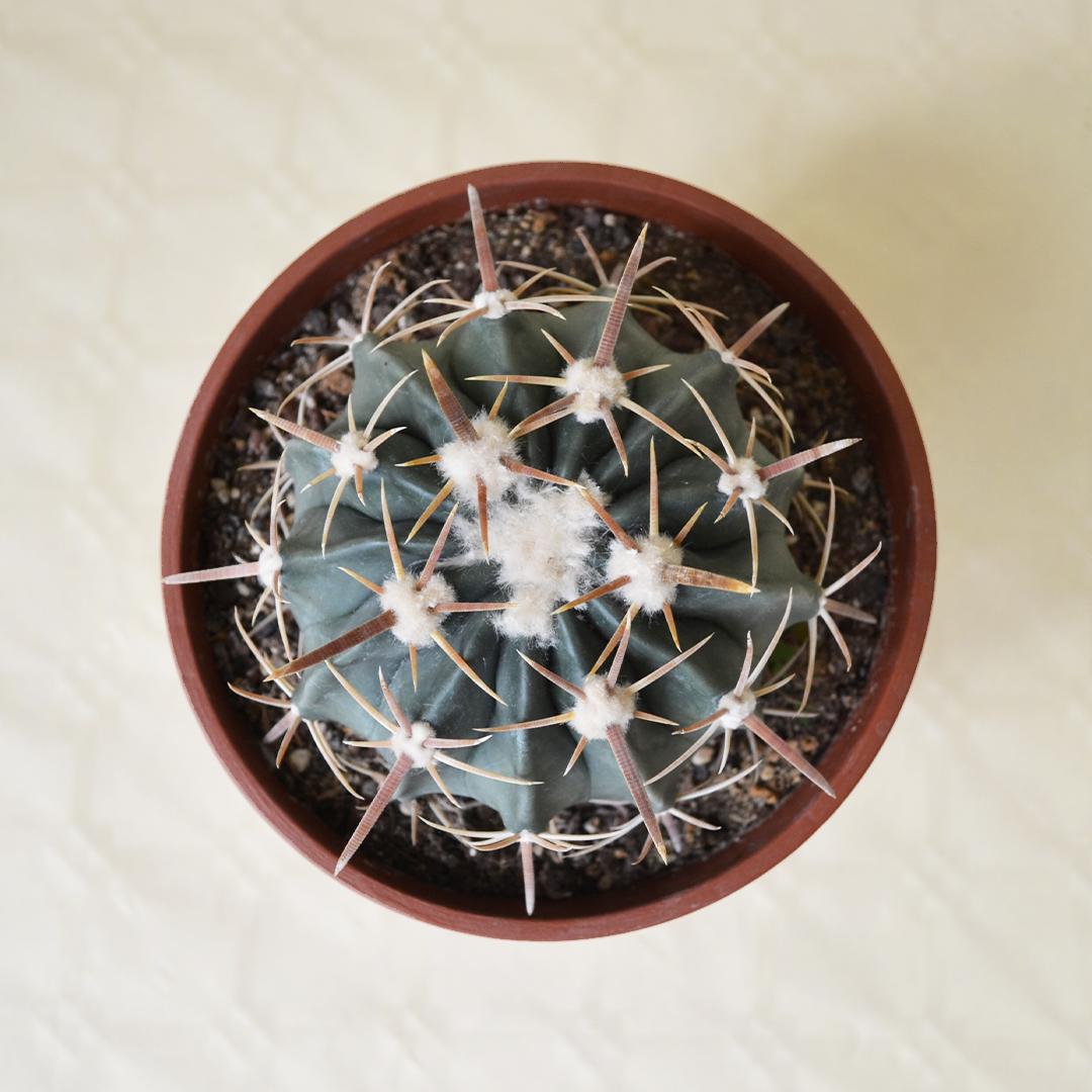 Echinocactus texensis (Homalocephala texensis) vaso 16