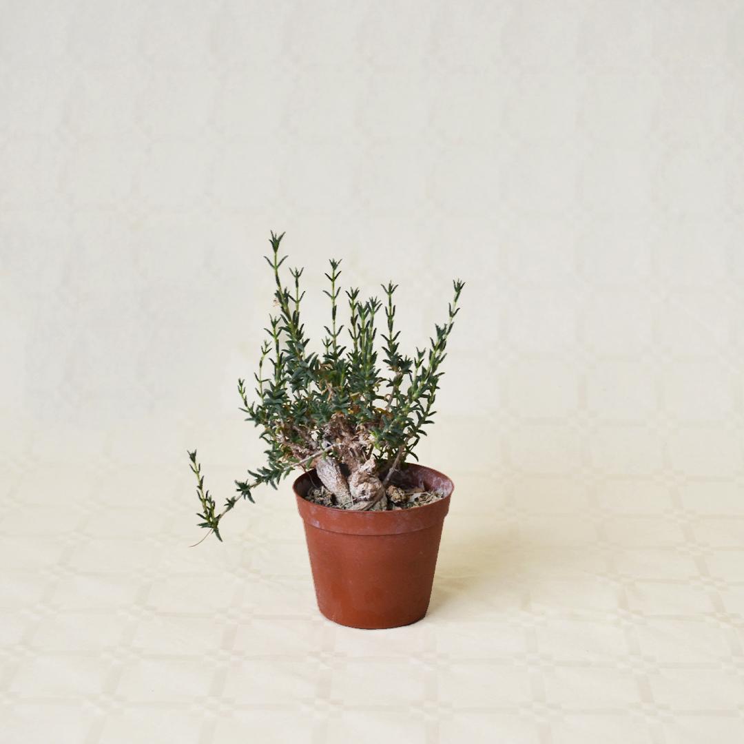 Trichodiadema bulbosum vaso 7,5