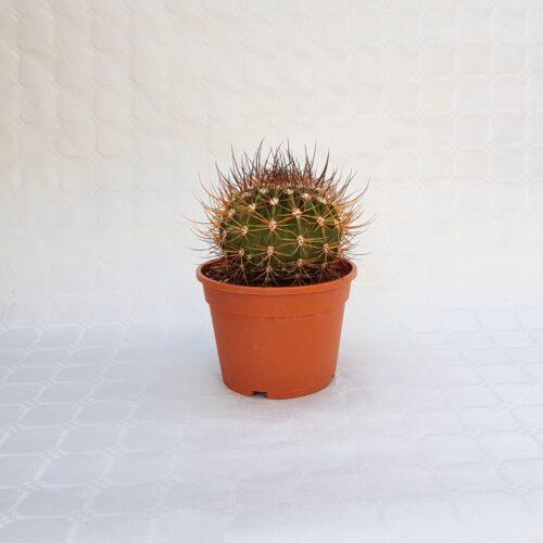 echinopsis ferox vaso 16