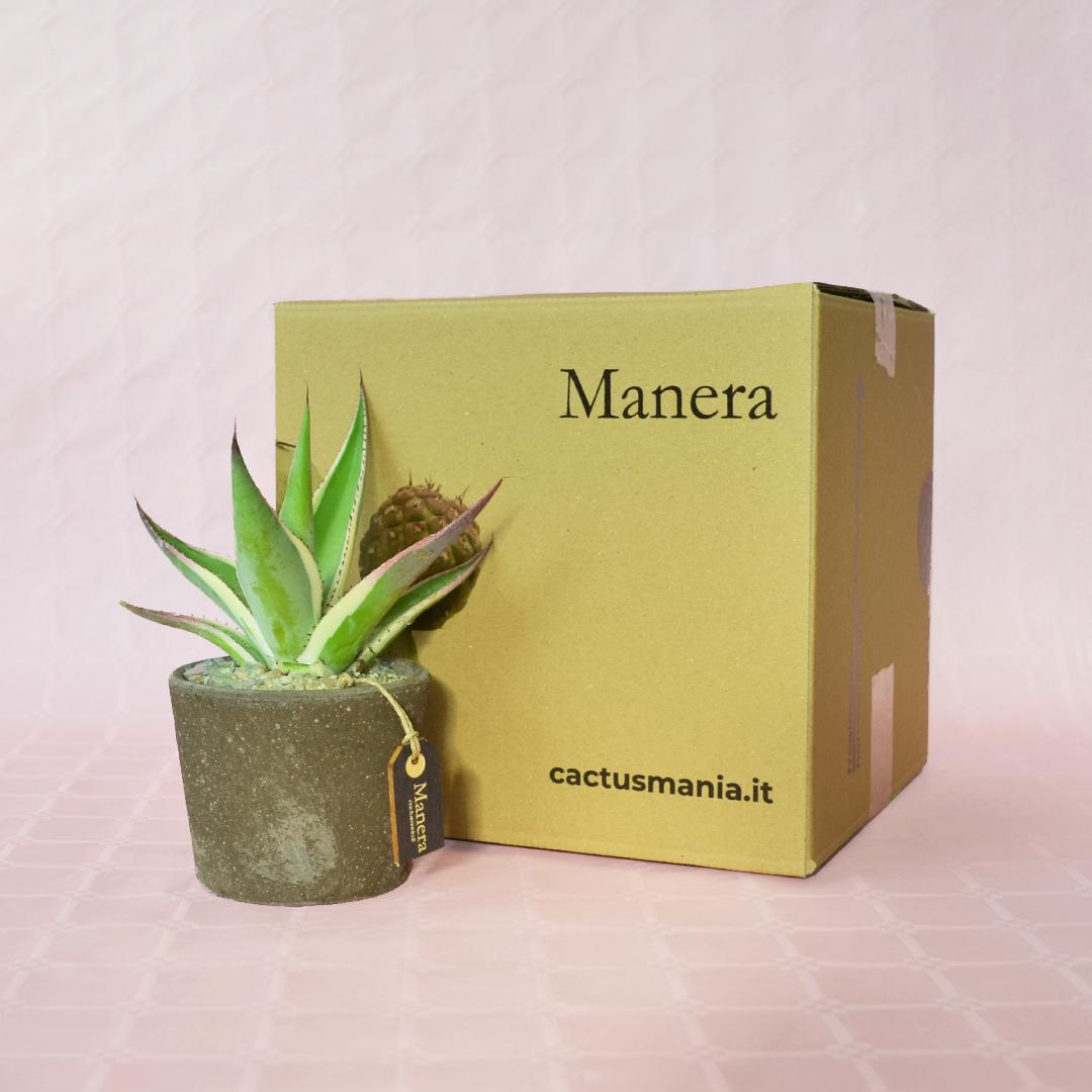 Agave guiengola marginata Manera