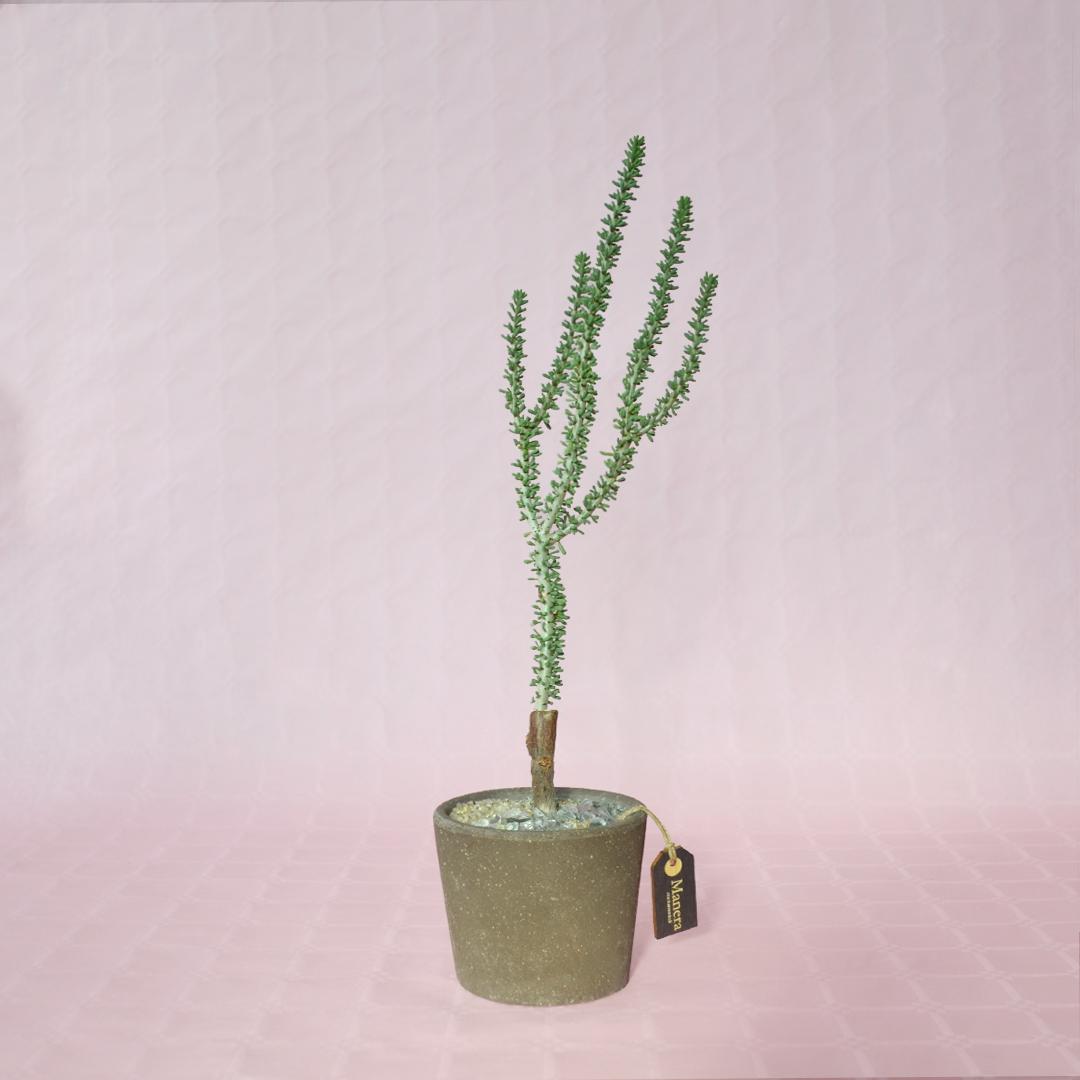 Ceraria namaquensis-1