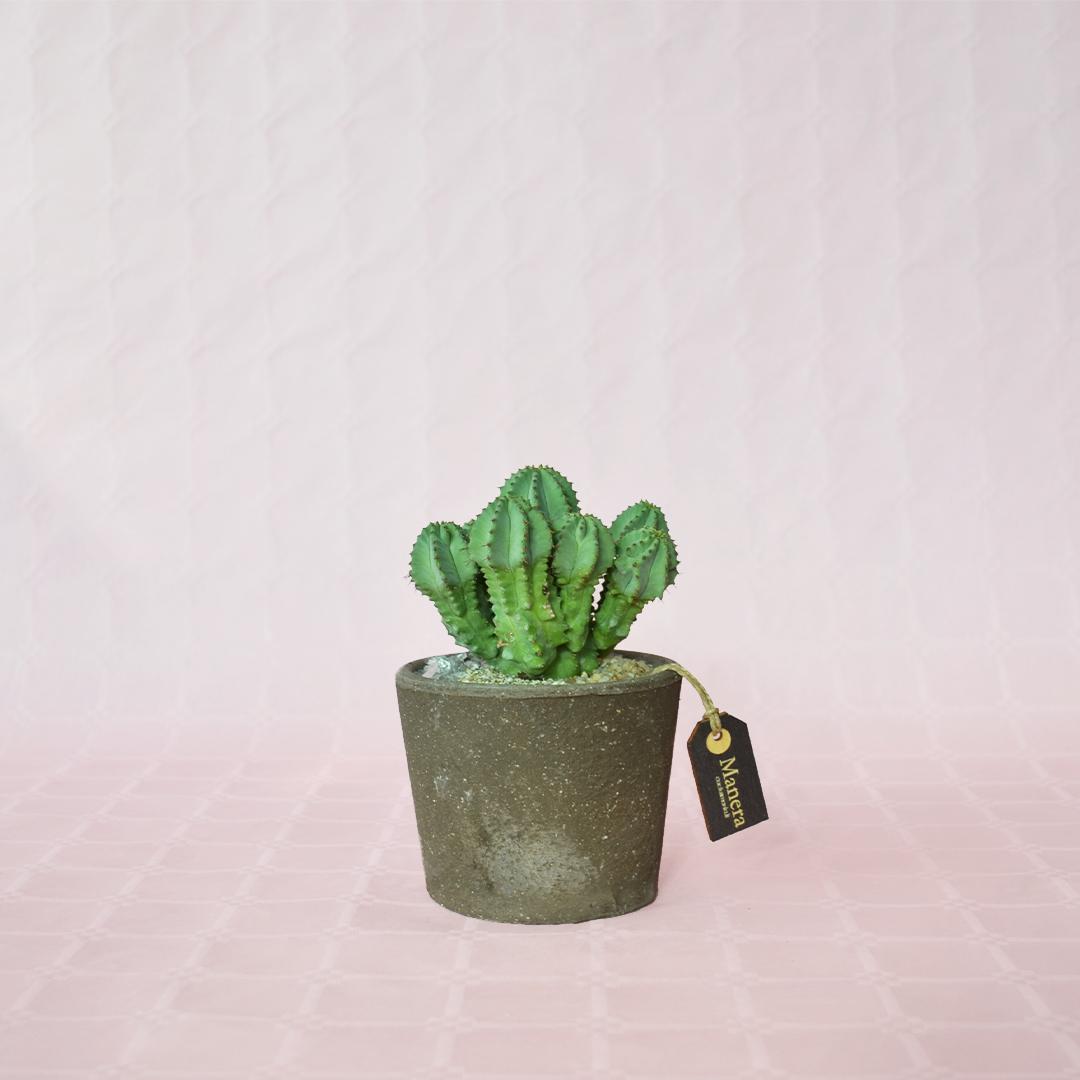 Euphorbia fruticosa inermis-1