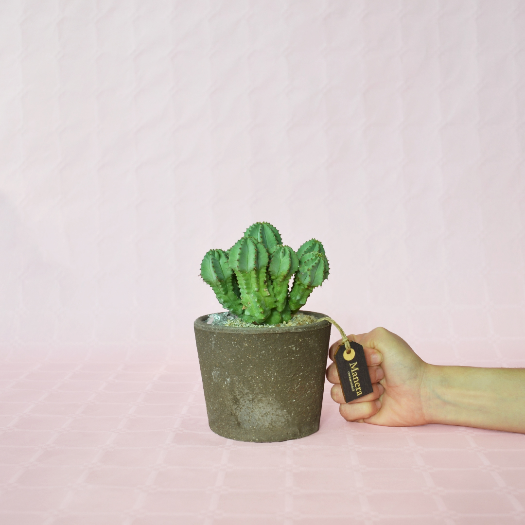 Euphorbia fruticosa inermis-3
