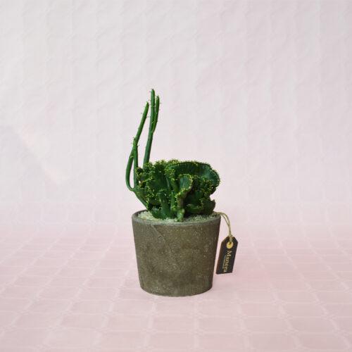 Euphorbia leucodendron crestata-1