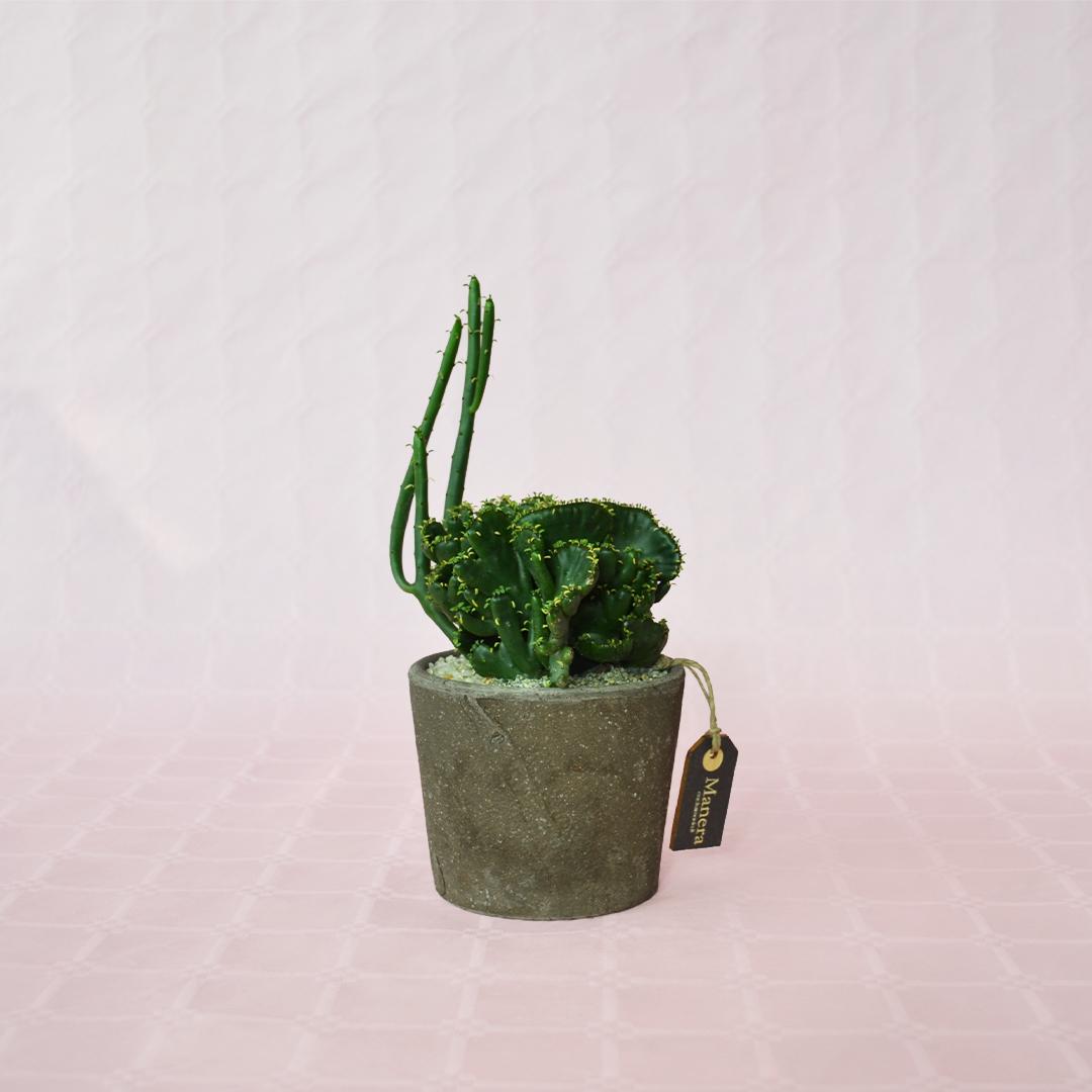 Euphorbia leucodendron crestata