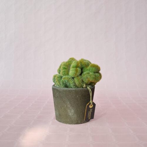 Notocactus lenninghausii crestata-1