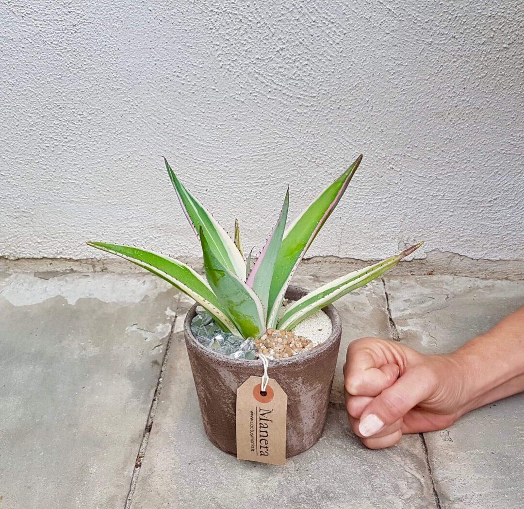 Agave guiengola marginata in vaso di terracotta
