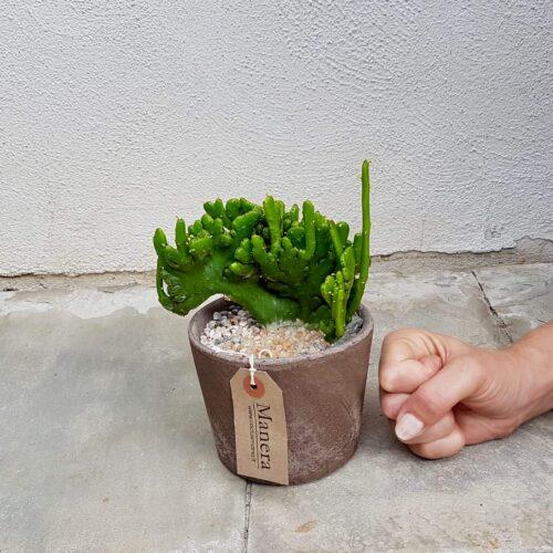 Euphorbia leucodendron crestata Linea Manera