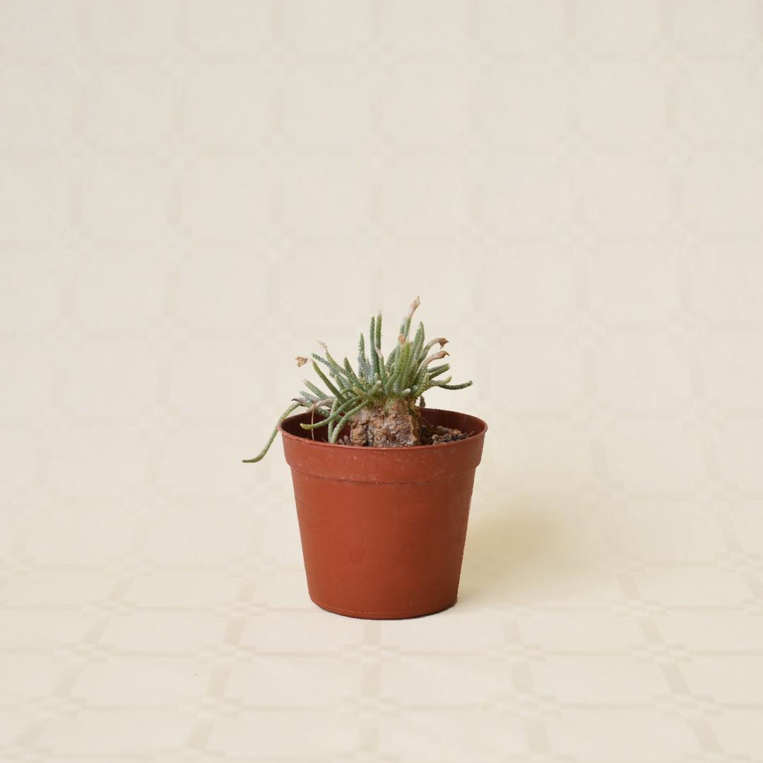 Avonia quinaria vaso 7,5