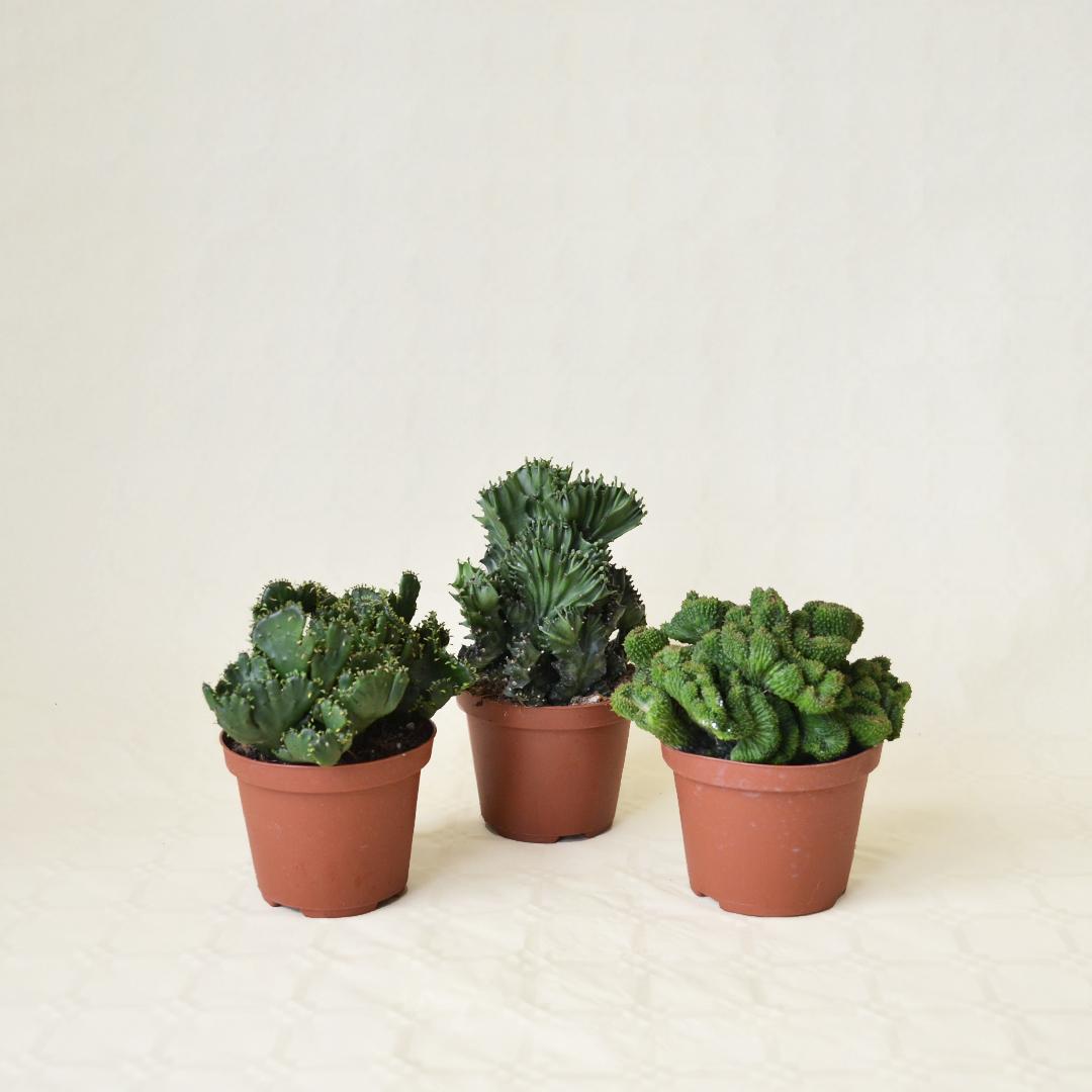 Collezione Euphorbia crestata 3 piante vaso 10,5