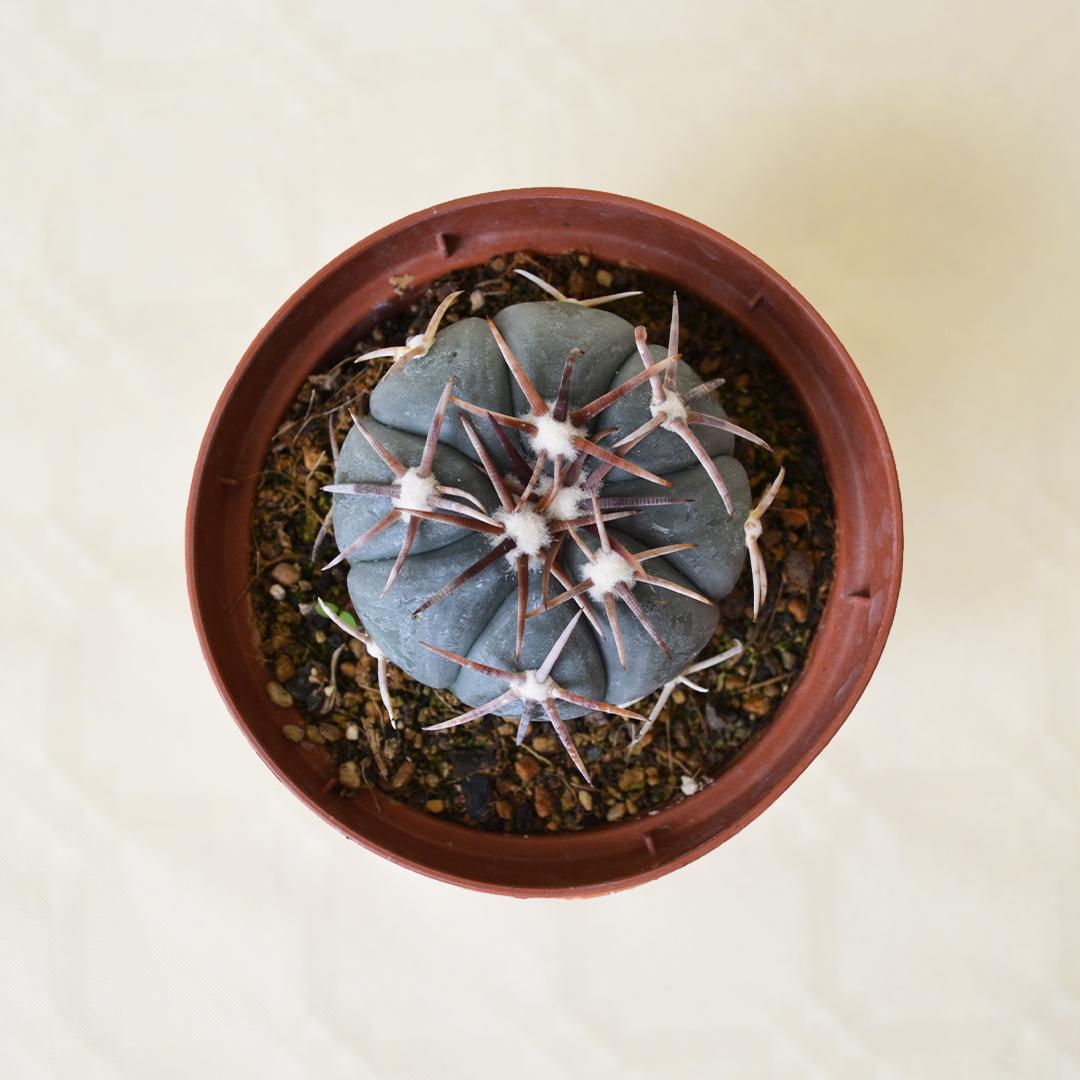 Echinocactus horizonthalonius vaso 10,5