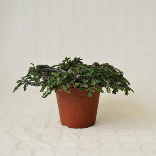 Euphorbia decaryi vaso 14