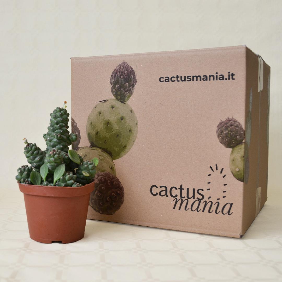 Monadenium ritchiei vaso 10,5