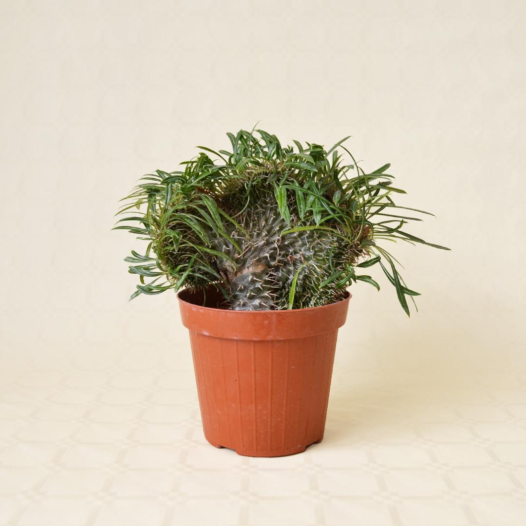 Pachypodium lamerei crestato vaso 14