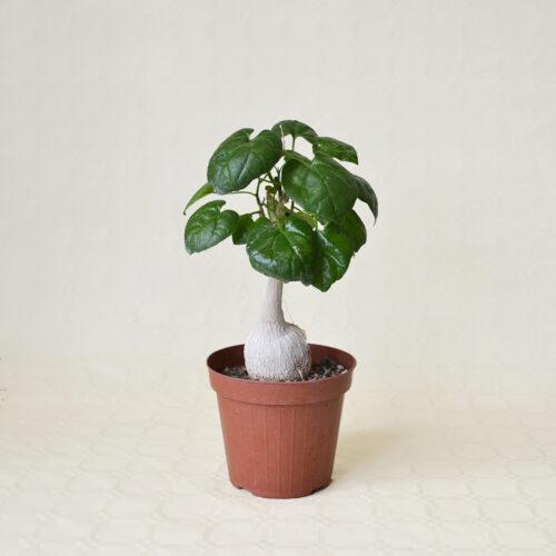 Pyrenacantha malvifolia vaso 14